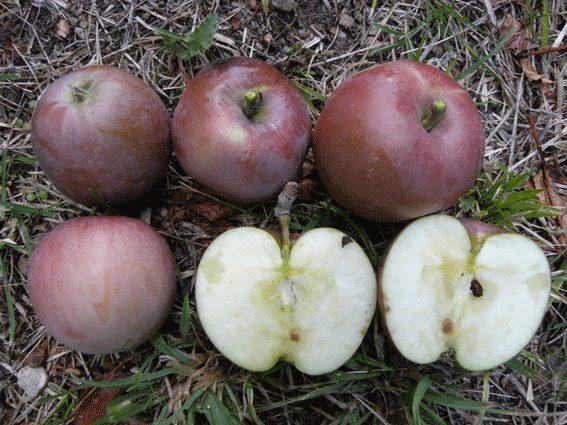 mela-olio-w